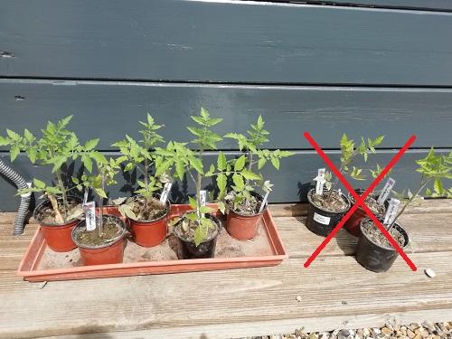 sélection des plants de tomates