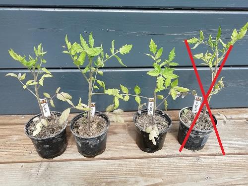 sélection des tomates précoces