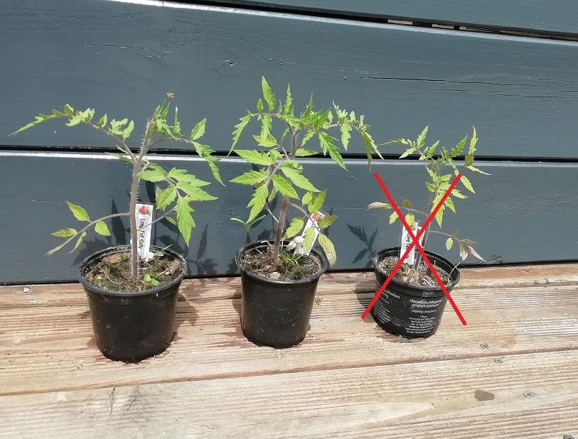 select tardive pour preparer la plantation des tomates