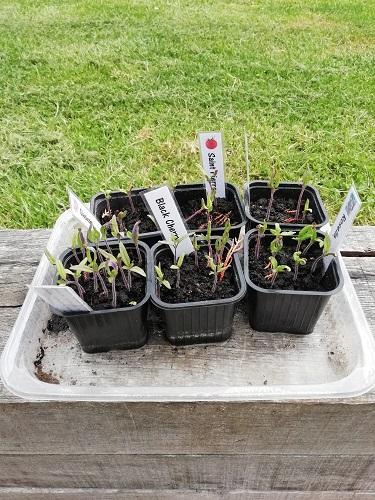 semis début avril pour preparer la plantation des tomates