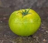 sha shamrock pour préparer la plantation des tomates
