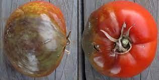 tomate bicarbonate vs mildiou
