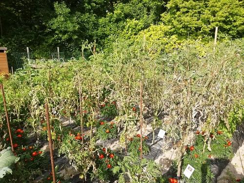 jardin tomate brulé par mildiou