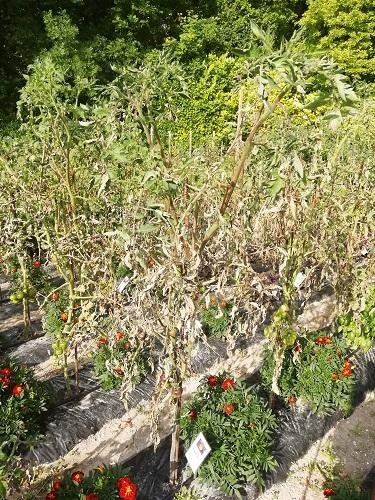 tomates brulées par mildiou b