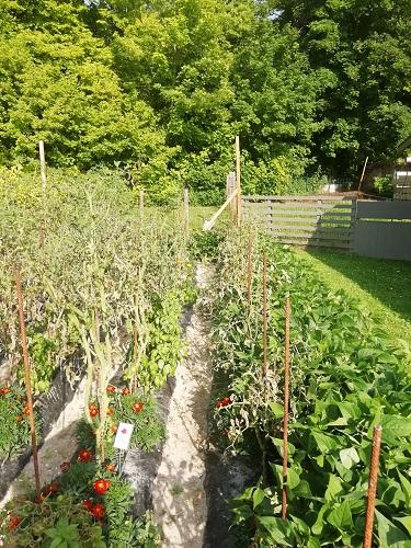 tomates brulée par mildiou a