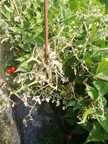 tomates brulées par mildiou c