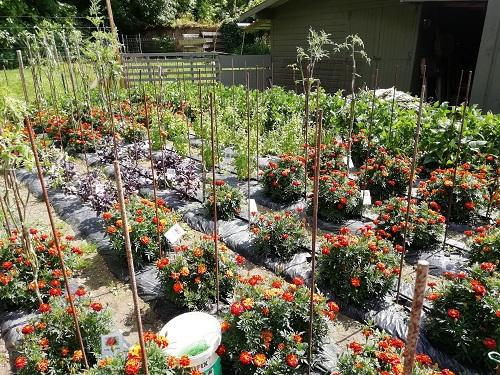 jardin de tuteur pour le mildiou