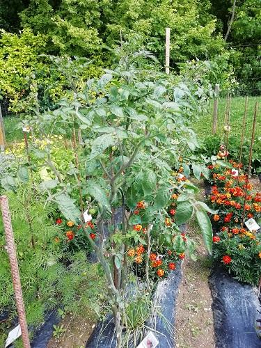 Lutter contre le mildiou au jardin