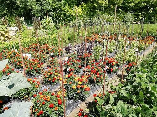 mildiou jardin de tuteur