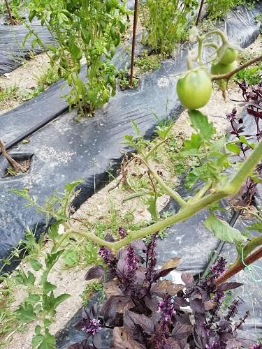 tomates qui résiste 3