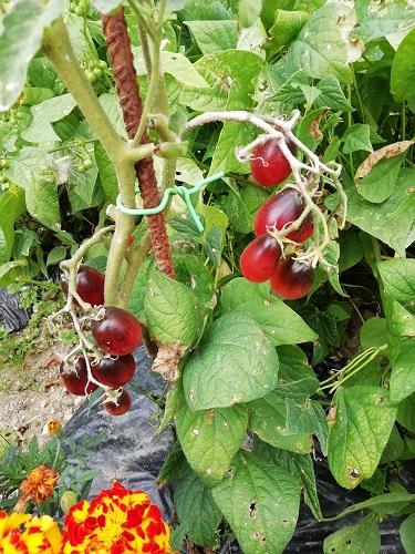 Où en sommes nous de nos tomates