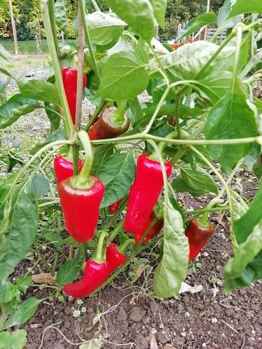 Des légumes au jardin mais pas des tomates
