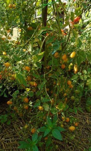 saison des tomates GAL le 2308