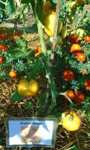 première récolte des tomates OQ