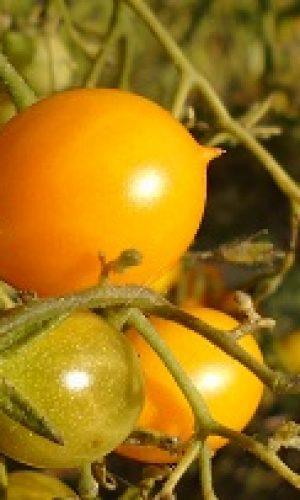 zoom sur la tomate galapagos