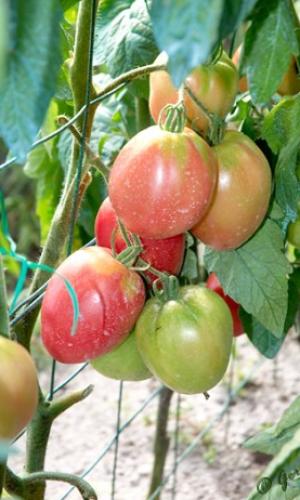 plant de grushovka